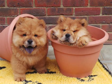 Rare lion-like chow chow puppies looking for home after