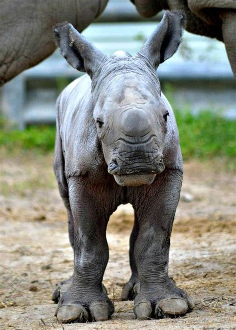 White Rhino Baby Named for Pioneering Conservationist