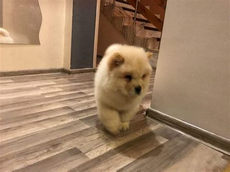 boy chow chow| Chow Chow for Sale Near Me in 6 Beaumont