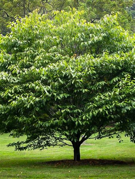 Buy Shade Trees   Shade Trees For Sale   The Tree Center