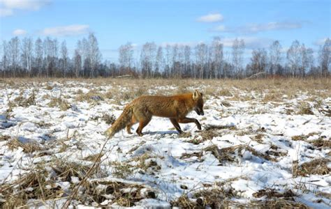 Animals Who Still Live In The Chernobyl Area Of Alienation