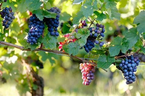 Champagne grapes permitted - Ask Decanter - Decanter