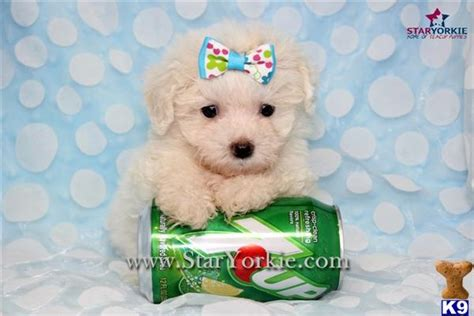 Maltipoo Puppy for Sale: Tiny Teacup MALTIPOO Puppies