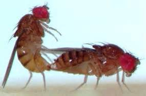 Sexy flies hit a wall › News in Science (ABC Science)