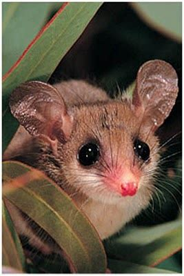 If You Give a Honey Possum Some Nectar