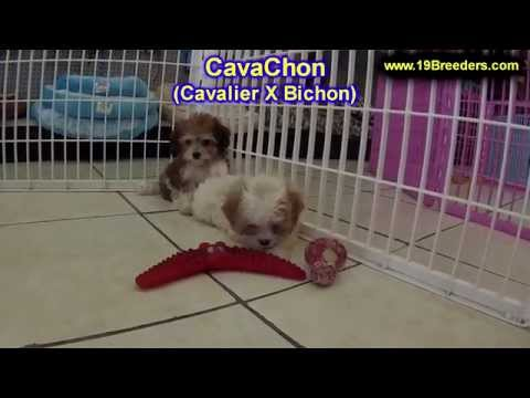 MORKIE PUPPIES FOR SALE IN IOWA