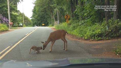 Mother Deer Nudges Her Fawn Out of Danger | The Weather