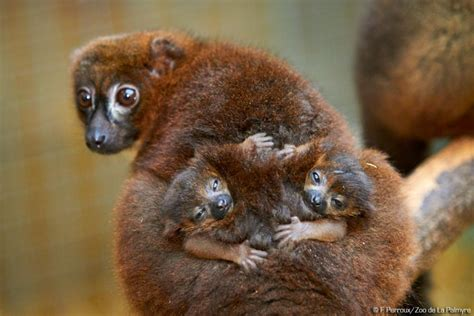 First birth of Red-bellied lemurs at the zoo! | Zoo de la