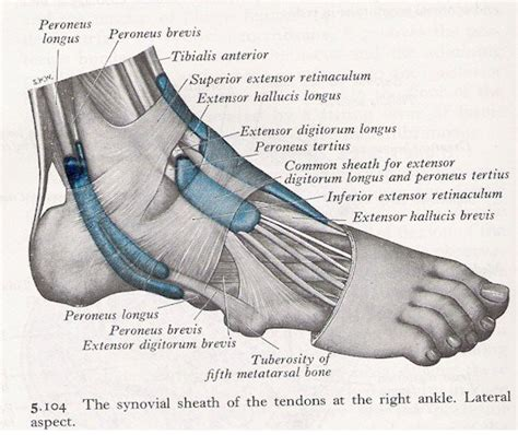 Muscles of the ankle lateral view   MyFootShop