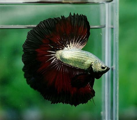 784 best images about Bettas on Pinterest