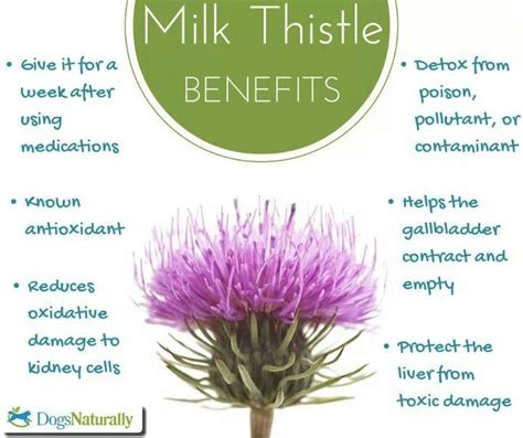 Herbal pet - Health benefits of Milk Thistle for pets/dogs
