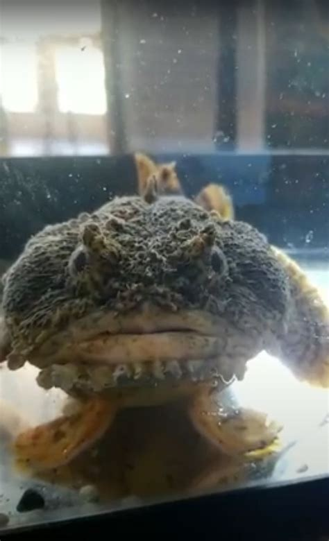 Oyster Toad Fish - Meigs Point Nature Center