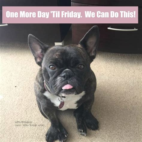 111 best images about Frenchie Memes on Pinterest